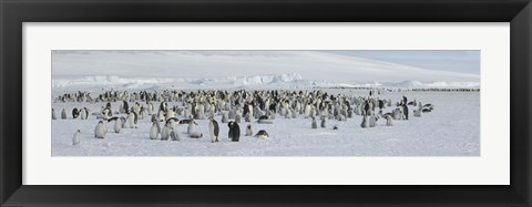Framed Emperor penguins (Aptenodytes forsteri) colony at snow covered landscape, Snow Hill Island, Antarctica Print