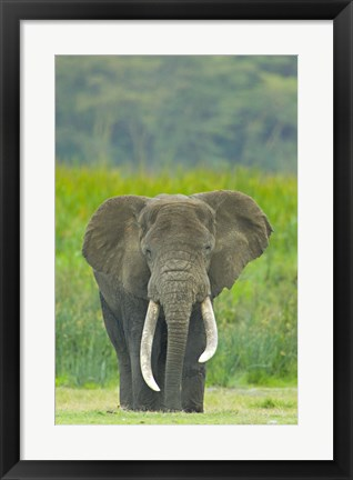 Framed Close-up of an African elephant in a field, Ngorongoro Crater, Arusha Region, Tanzania (Loxodonta Africana) Print