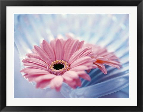 Framed Close up of two pink gerbera daisies in water ripples Print