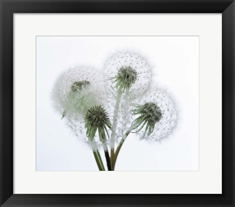 Framed Close up of four dandelion heads in seed on stems Print