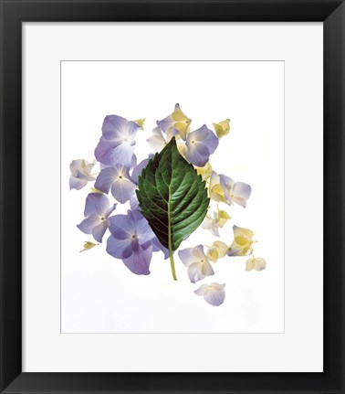 Framed Close up of green leaf and lavender flower petals scattered on white Print