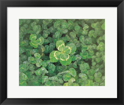 Framed Close up of green clover Print