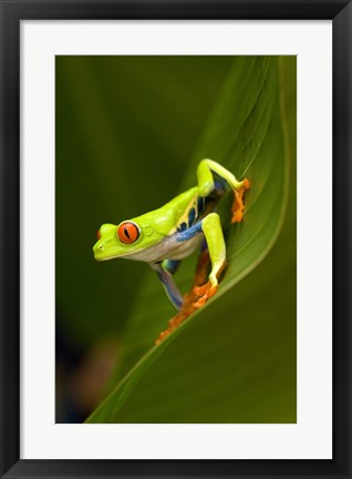 Framed Close-up of a Red-Eyed Tree frog (Agalychnis callidryas) sitting on a leaf, Costa Rica Print