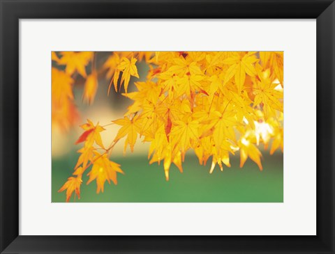 Framed Yellow Maple Leaves, Autumn Print