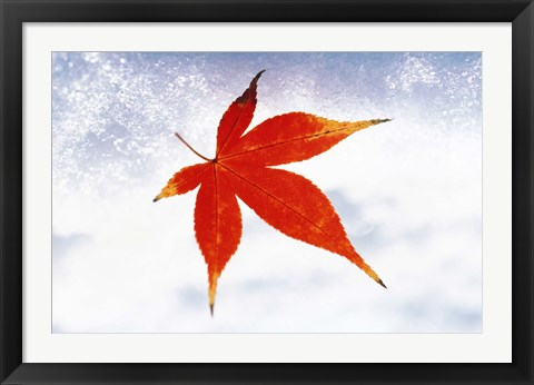 Framed Red Maple Leaf against White Background Print