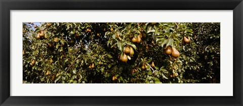 Framed Close Up of Pear trees in an orchard, Hood River, Oregon Print