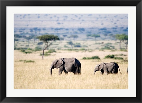 Framed African elephants (Loxodonta africana) walking in plains, Masai Mara National Reserve, Kenya Print