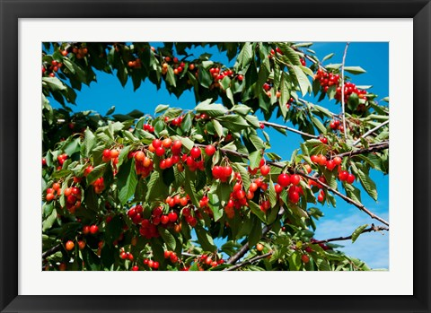 Framed Cherries to be Harvested, Cucuron, Vaucluse, Provence-Alpes-Cote d'Azur, France (horizontal) Print