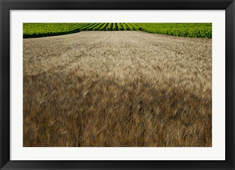Framed Wheat field surrounded by vineyards, Cucuron, Vaucluse, Provence-Alpes-Cote d'Azur, France Print