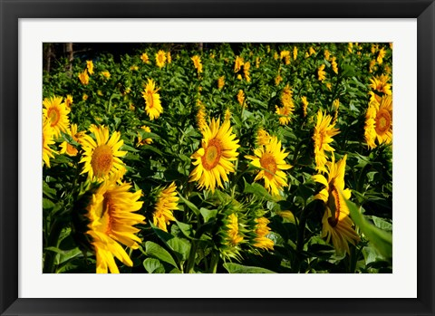 Framed Sunflowers (Helianthus annuus) in a field, Vaugines, Vaucluse, Provence-Alpes-Cote d'Azur, France Print