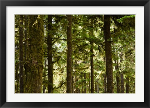 Framed Trees in a forest, Queets Rainforest, Olympic National Park, Washington State, USA Print