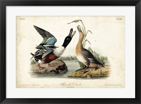 Framed Audubon Ducks I Print