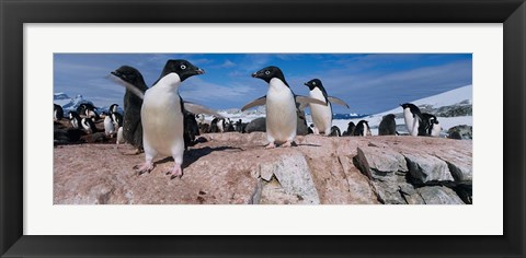 Framed Adelie Penguins With Young Chicks, Lemaire Channel, Petermann Island, Antarctica Print