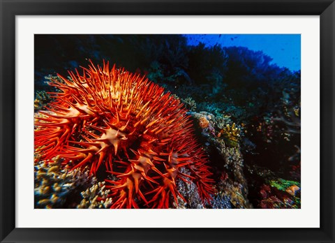 Framed Crown-of-Thorns Starfish at Daedalus Reef, Red Sea, Egypt Print