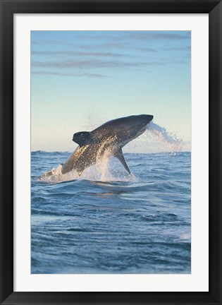 Framed Cape Town, Great white shark moves to strike a seal Print