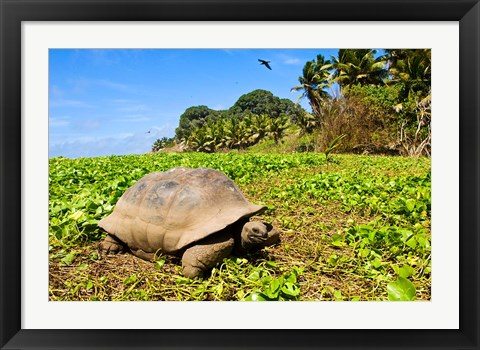 Framed Giant Tortoise in a field, Seychelles Print