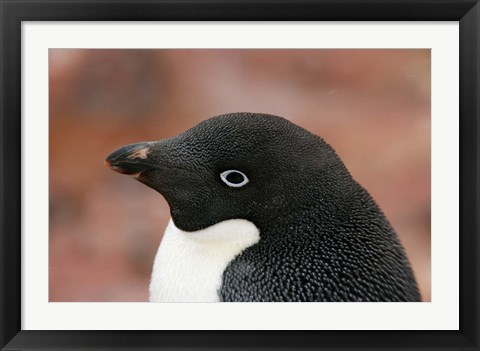 Framed Antarctica, Brown Bluff, Adelie penguin Print