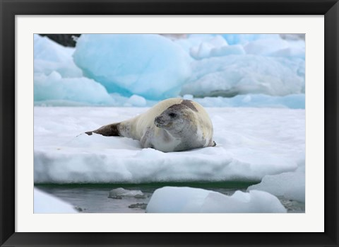 Framed Crabeater seal lying on ice, Antarctica Print