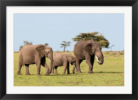 Framed Three African Elephants, Maasai Mara, Kenya Print