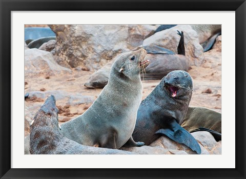 Framed Cape Fur seals, Skeleton Coast, Kaokoland, Namibia. Print