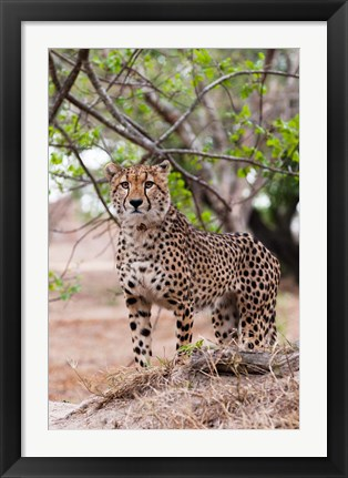 Framed Cheetah, Kapama Game Reserve, South Africa Print