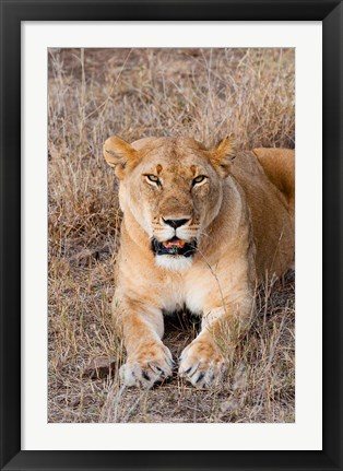 Framed Female lion, Maasai Mara National Reserve, Kenya Print