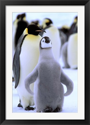 Framed Emperor Penguin with Chick, Atka Bay, Weddell Sea, Antarctic Peninsula, Antarctica Print