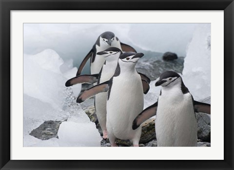 Framed Four Chinstrap Penguins, Antarctica Print