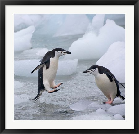 Framed Chinstrap Penguins on ice, Antarctica Print