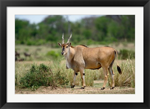 Framed Giant Eland wildlife, Serengeti National Park, Tanzania Print