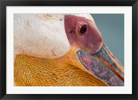 Framed Great White Pelican, Walvis Bay, Namibia Print