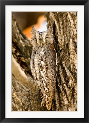 Framed African Scops Owl in Tree, Namibia Print