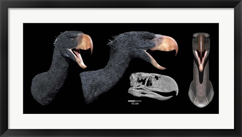Framed Head reconstruction of Andalgalornis steulleti Print