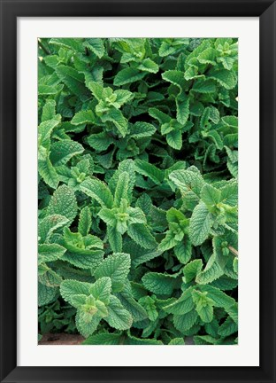 Framed Mint Leaves for Brewing Traditional Tea, Morocco Print