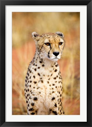 Framed Sitting Cheetah at Africa Project, Namibia Print