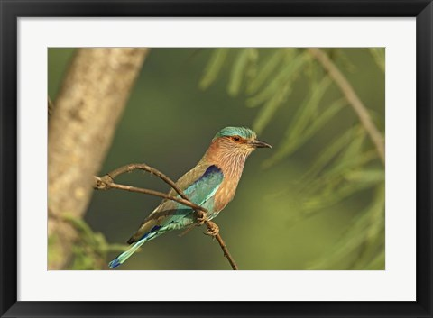 Framed Indian roller bird, Corbett NP, Uttaranchal, India Print
