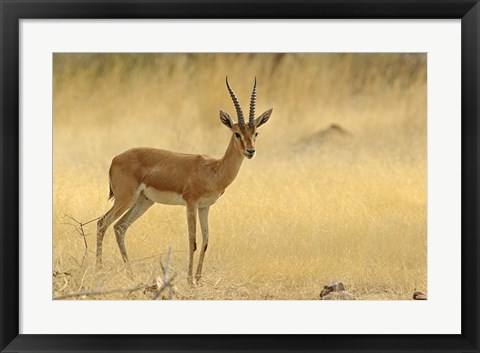 Framed Chinkara, Ranthambhor National Park, India Print