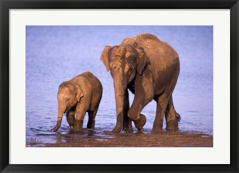 Framed Pair of Asian Elephants, Nagarhole National Park, India Print