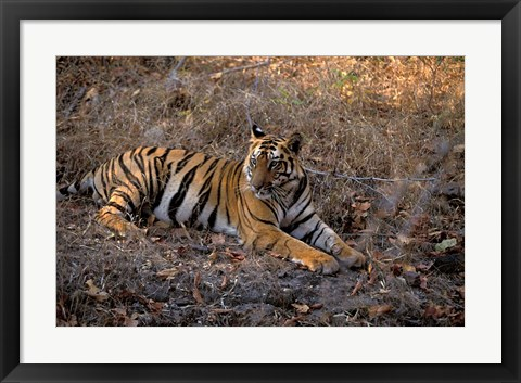 Framed Tiger in Ranthambore National Park, India Print