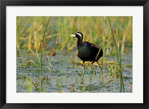 Framed Bronze-winged Jacana bird, Keoladeo NP, India Print