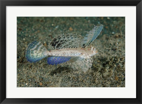 Framed Close-up of dragonet fish Print