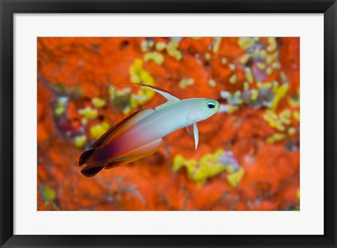 Framed fire goby swims past coral Print