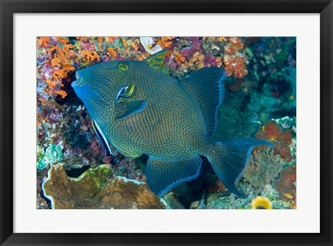 Framed Cleaner wrasse fish, reef Print