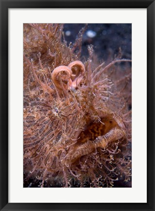Framed Hairy frogfish Print