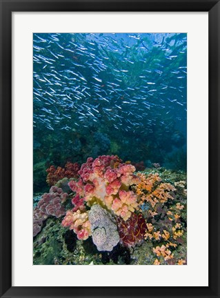 Framed Indonesia, Triton Bay, Silversides fish Print