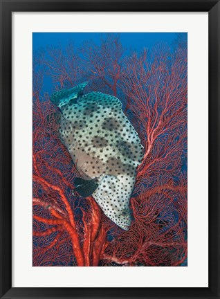 Framed Underwater scene of fish and coral, Raja Ampat, Papua, Indonesia Print