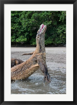 Framed Komodo dragon rising out of water Print