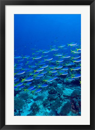 Framed Blue-Gold Fusilier fish, Raja Ampat, Indonesia Print