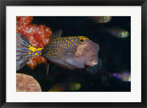 Framed Spotted Boxfish, Banda Sea, Indonesia Print