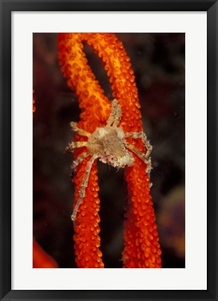 Framed Commensul Crab on Soft Coral, Indonesia Print